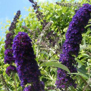 Buddleia davidii 'Black Knight' - Arbre aux papillons bleu violet - Buddleja