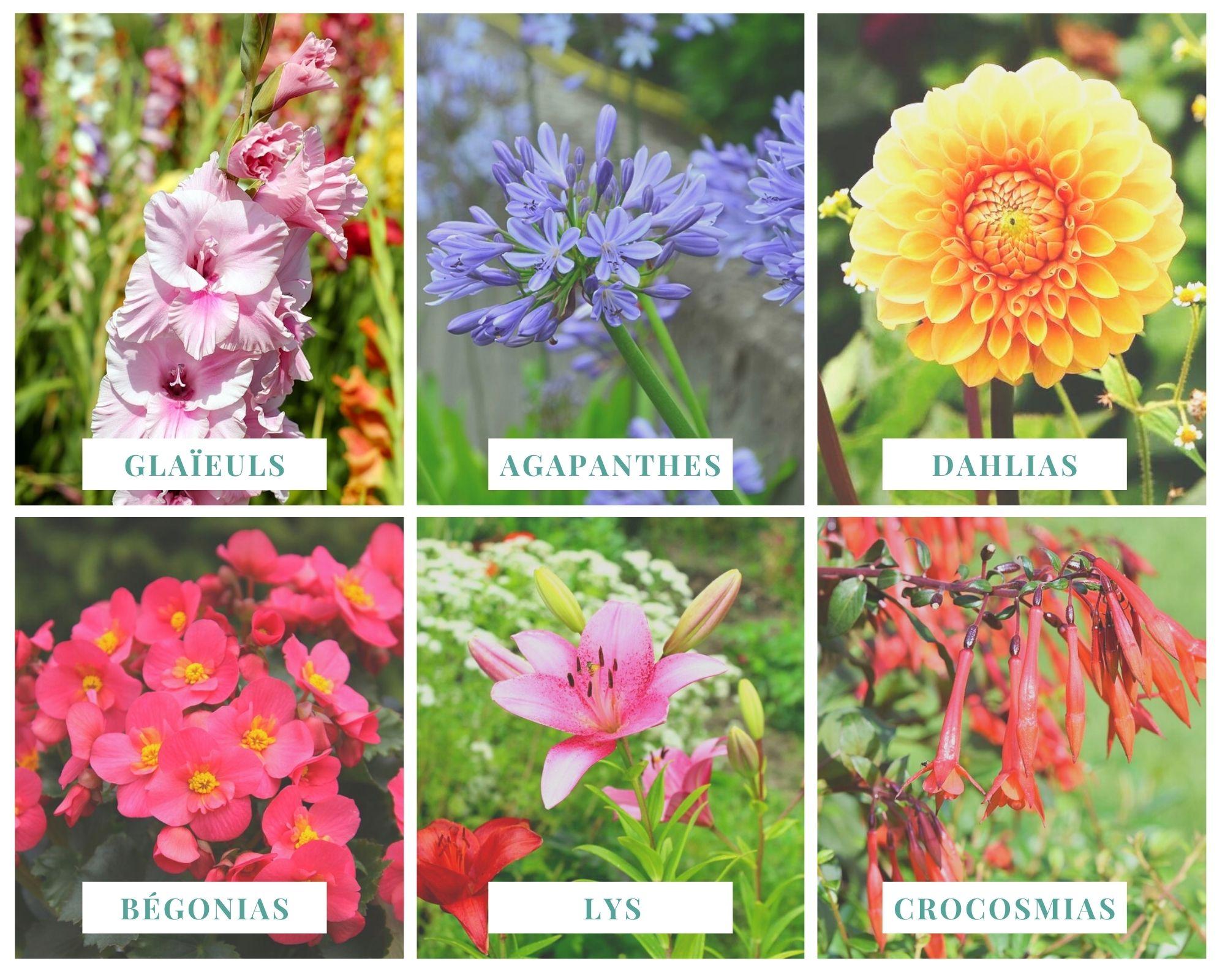 Espèces fleurs à floraison estivale