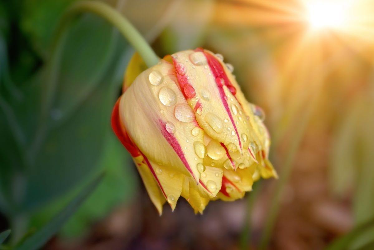 Tulipe en fleur au soleil