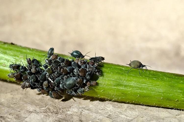 Pucerons : insectes ravageurs en surnombre